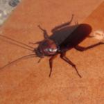 cockroack